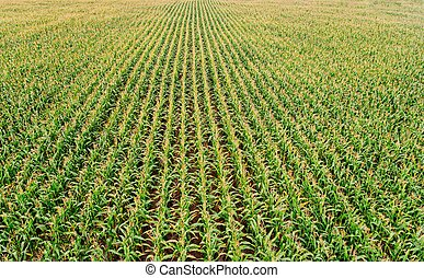 Aerial view on green corn field