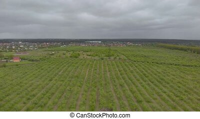 Aerial view orchards fruit gardens green apple and pear young trees field cloudy right side drone movement
