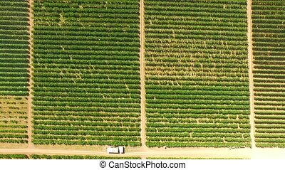 Aerial View Over Green Fruit Orchards - AERIAL VIEW: This is...
