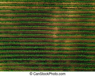 Aerial view over vineyard fields in Italy. Rows of grape vines