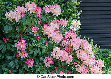 Aerial view pink fuchsia Rhododendron blossoms dark...