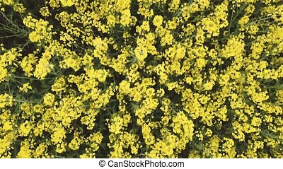 Aerial view rapeseed blooming. Yellow fields from above.Video captured with drone