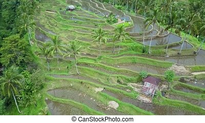 Aerial view rice fields - Aerial view rice field. Bali