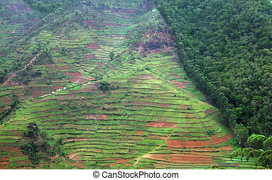 aerial view showing the border of the Bwindi Impenetrable Forest in Uganda (Africa)