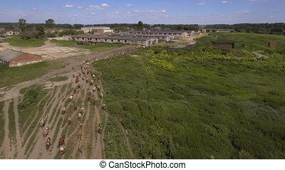 Aerial view:Cows walking along the road - Herd of cows ...