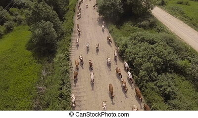 Aerial view:Cows walking along the road