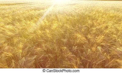 aerial., vol, sur, les, champ blé, dans, levers de soleil
