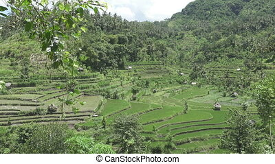 Aero view on rice terraces of mountain and house of farmers....