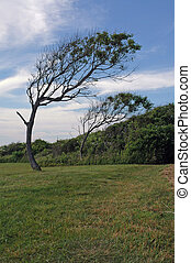 Trees bent permanently by the wind near Beavertail lighthouse, Jamestown, RI