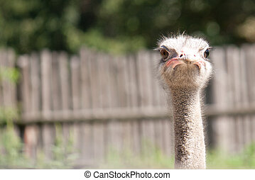 afbeelding, hoofd, ziet, struisvogel