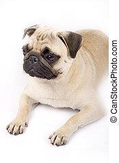 afbeelding, pug, seated, grond