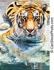 afbeelding, van, een, bengalen tijger, dichtbij, de, water