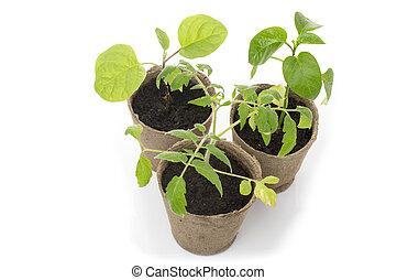afbreekbaar, turf, potten, mos, seedlings, groeiende, potted
