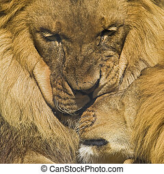 Affection - african lions