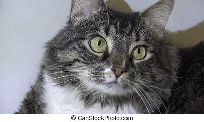 Affectionate fluffy cat.4K. - Affectionate fluffy cat. Shot...