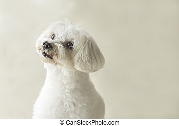 Affectionate look of white poodle in close up