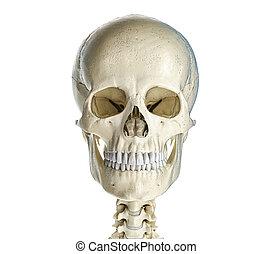 affiché, crâne, humain, front.