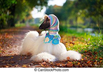 afgan dog - Afghan Hound dog