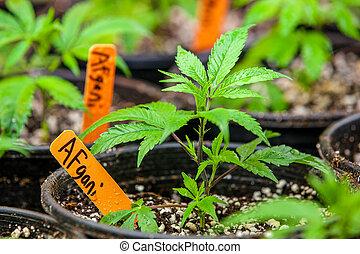 afgani, sala, cannabis, série, -, marijuana, legal, tensão, cultivo, comum, crescendo, crescer