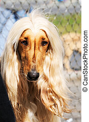 Afghan dog portrait - Pedigree Afghan borzoi dog outdoor...