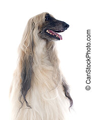 afghan dog - afghan hound in front of white background