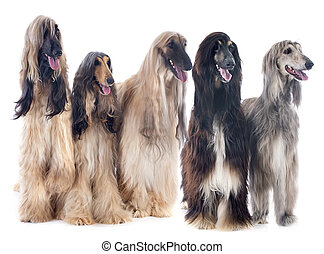 afghan dogs - afghan hounds in front of white background