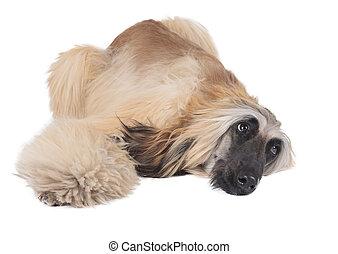 Afghan Hound - afghan hound on white background