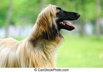 Afghan hound dog - An afghan hound dog standing on the lawn