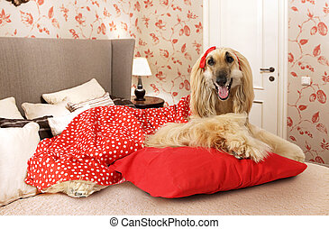 Afghan hound dog lying on the bed