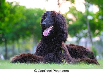 Afghan hound dog lying on the lawn