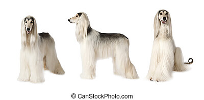 Afghan hound dog over white - Photo collage of white Afghan...