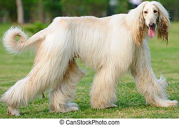 Afghan hound dog walking - An afghan hound dog walking on...