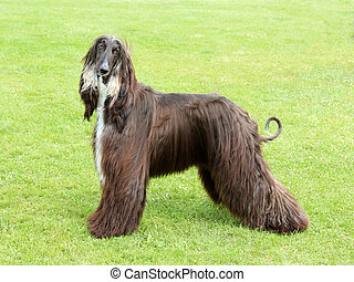 Afghan Hound on the green lawn