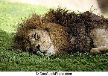 afican, männlicher löwe