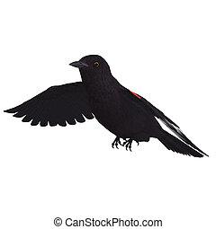 af)knippen, red-winged, op, vertolking, blackbird., steegjes...