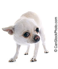 afraid chihuahua in front of white background