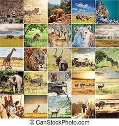 afričan, safari
