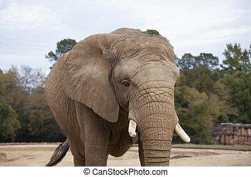 afričan, savana, slon