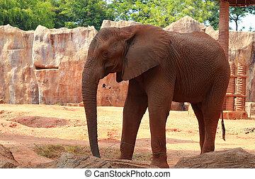 afričan slon