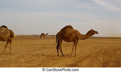 africa camels in the desert