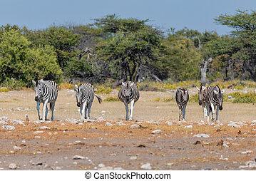africa, cespuglio, fauna, namibia, zebra