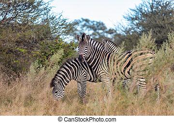 africa, cespuglio, fauna, zebra, namibia