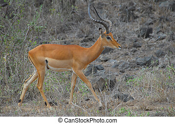 gazelle - africa, kenya, a gazelle in the bush
