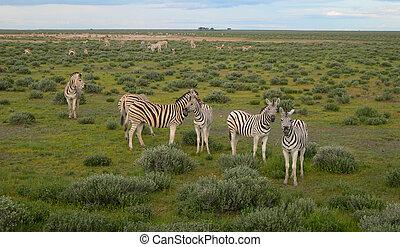 africa, namibia, zebre