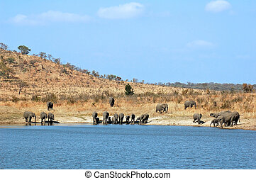 African Elephants drinking at a river in South Africa.
