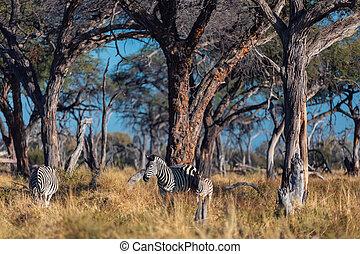 africa, zebra, fauna, cespuglio, namibia