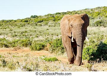 africaine, buisson, éléphant, marche