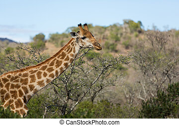 africaine, girafe, closeup