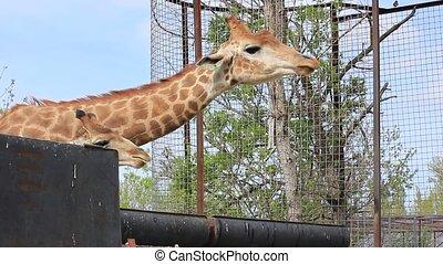 africaine, girafe, manger, herbe