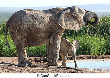africaine, mère, veau, éléphant